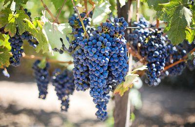 Le vin biologique : Ce que vous devez savoir