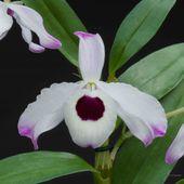 Dendrobium nobile orchidée bambou, vente