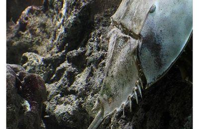 faune : mérostomes : Xiphosures (limules)