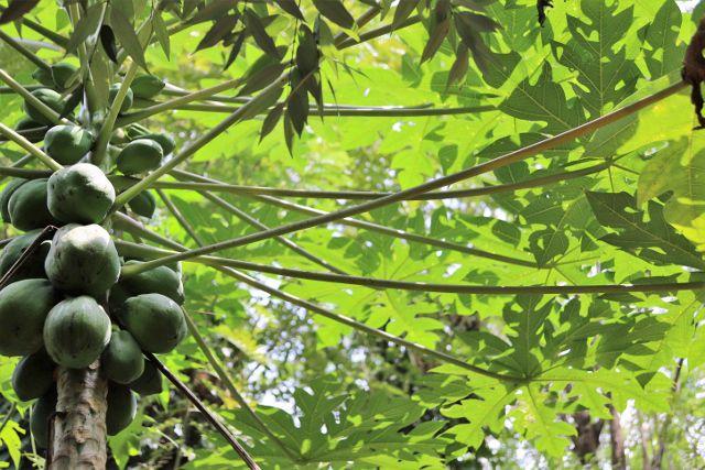 Jardin d'épices : Cabosses et fruits - Sri Lanka