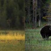 entre un loup et un ours