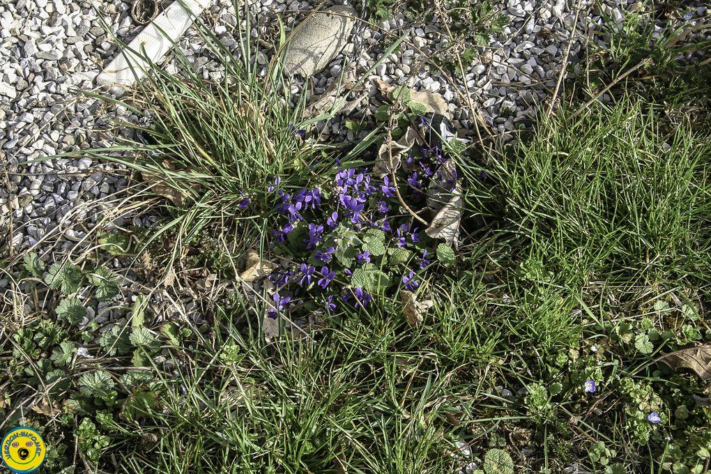 La Mure Argens : La violette  odorante a envahi le tour de la maison