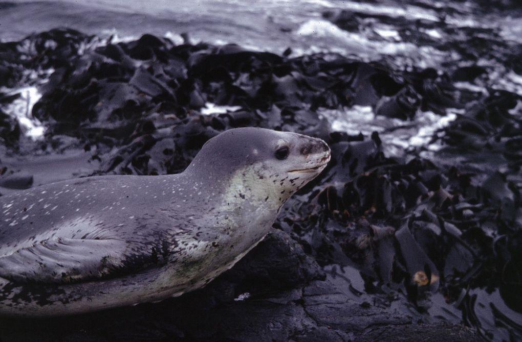 Léopard de mer sur rocher et lit d'algues