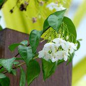 Fleur du jour (25) - Noy et Gilbert en Thaïlande