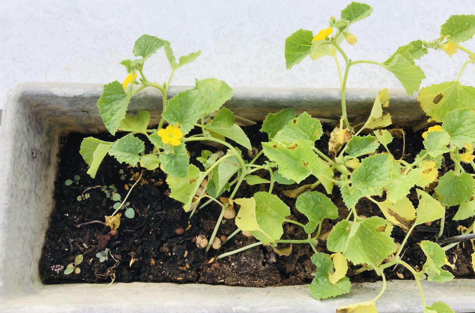 """Un tour de jardin du côté des """"essais hasardeux"""", bref : des noyaux et pépins récupérés sur les fruits consommés"""