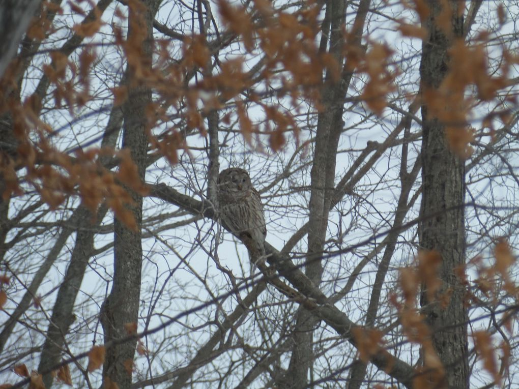Une chouette rayée (Barred Owl)