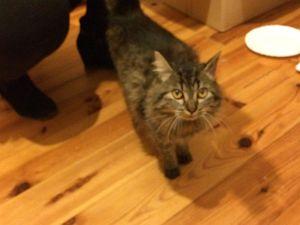 Jaëlle, chat femelle à poils mi longs, à l'adoption -> adoptée