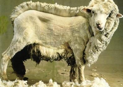 Comme des agneaux