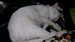 Blancot, jeune chat mâle blanc, a été adopté