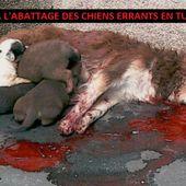Pétition : Stop à l'abattage des chiens errants en Tunisie !