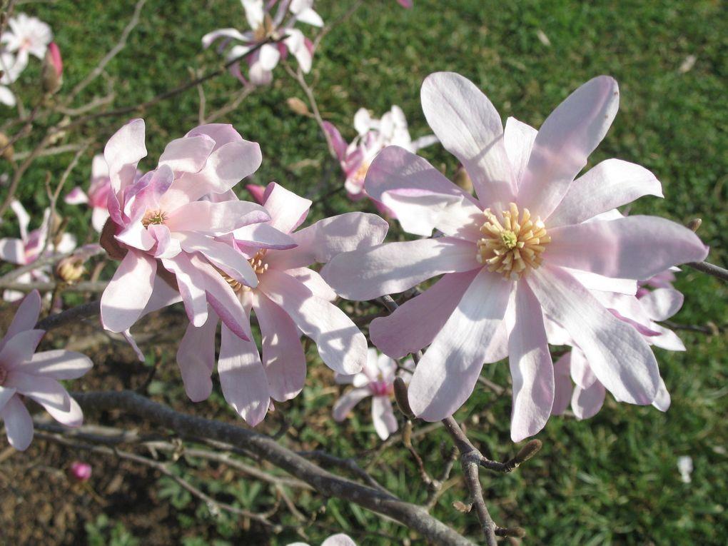 Mes Magnolias : M.stellata blanc, rose, M.Betty, M.Georges Henri Kern, M. liliflora, M. soulangeana, M.star wars, M. grandiflora