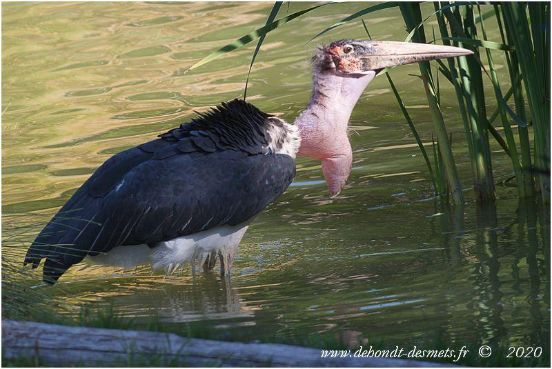 On le voit souvent au bord des lacs et des marais, mais le marabout d'Afrique ne dépend pas d'eux pour se nourrir.