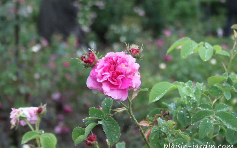 Le rosier 'Duc de Cambridge' - plaisir-jardin.com