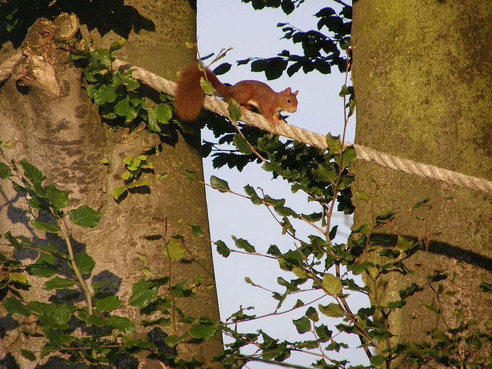 Très agile, l'Écureuil roux peut se déplacer rapidement sur une telle corde. Photo : D. Benoit  (Cliquez pour agrandir)
