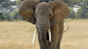 BBC - Africa elephants 'face survival threat' from poaching
