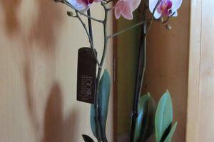 Phalaenopsis Nr. 4