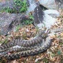 Un python dévore un kangourou sous les yeux ébahis de vacanciers en Australie