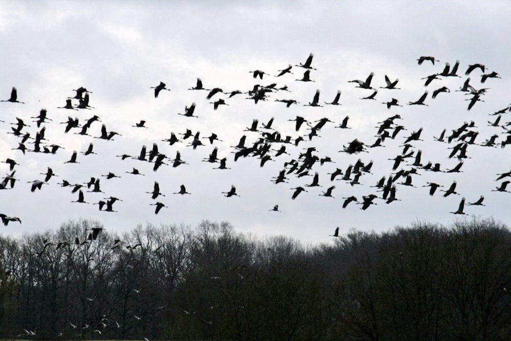 """1600 grues rassemblées à la """"Ferme aux grues"""" près du lac du Der."""