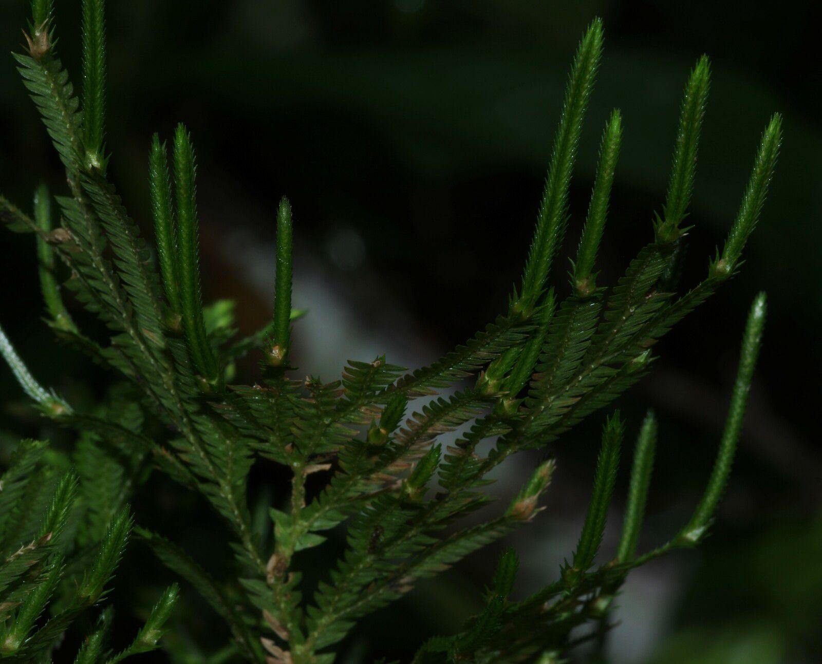 Selaginella conduplicata