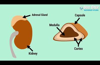 Cortisol and stress mechanisms and glands