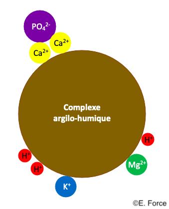 Figure 6. Le complexe argilo-humique fixant certains ions (illustration : E. Force).