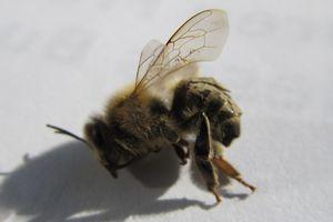 Zu kalt für das Bienchen