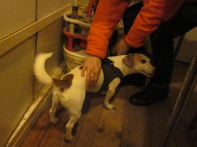 Il est adopté  : GUCCi  petit Jack Russel Terrier mâle de 6 ans (967000009219314)