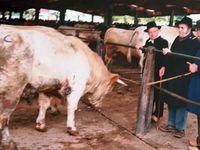 Dans le Brionnais au Marché des bestiaux de Saint-Christophe - entrée des taurillons - au cul des broutards - le mur de la paye - Maquignon et son aiguillon - Le Brionnais - Ferme et Demeure traditionnelles ...