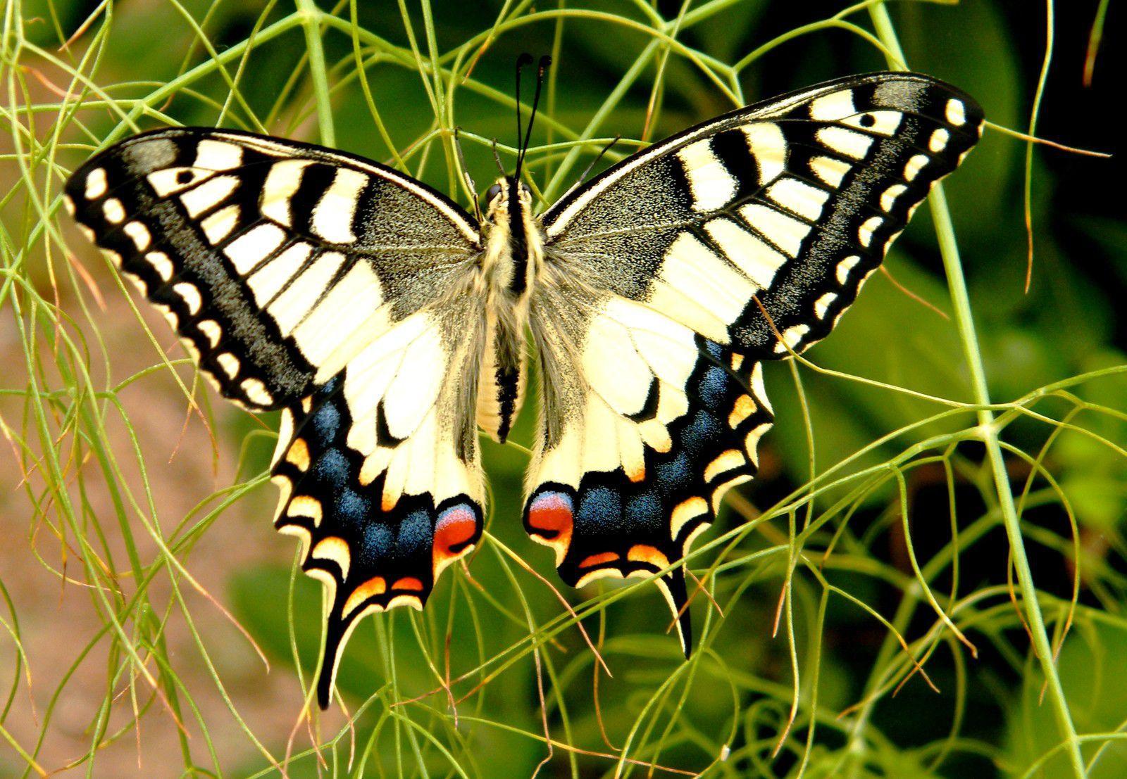 Papilio machaon sur fenouil