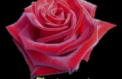 rose st valentin