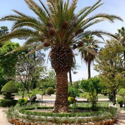 Comment tailler un palmier ? (guide pratique, astuces, conseils)