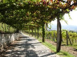 The Vinhos Verdes and vine