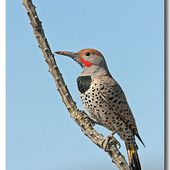 Pic chrysoïde - Colaptes chrysoides - Gilded Flicker