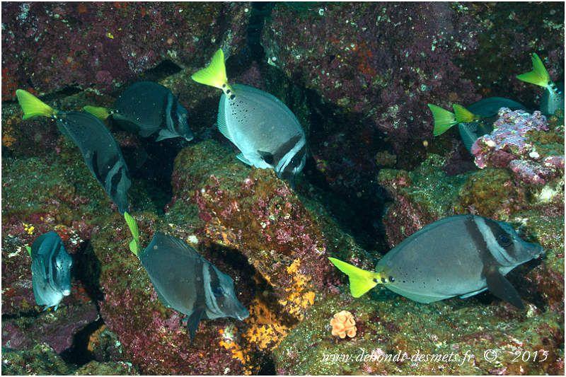 Les poissons chirurgien à queue jaune  possèdent trois d'épines érectiles de part et d'autre du pédoncule caudal. Ces scalpels ou éperons sont très coupants et peuvent être venimeux, pouvant infliger de graves blessures notamment pour les pêcheurs, quand le poisson pris se débat.