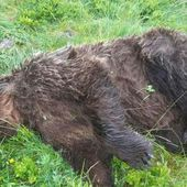 Un ours tué par balle en Ariège : l'Etat va porter plainte