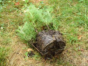 Les racines sortent par les trous de drainage et sont bien développées : il est temps de les repiquer