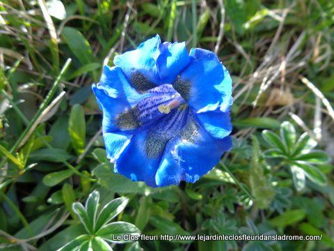 Gentianes bleues ....