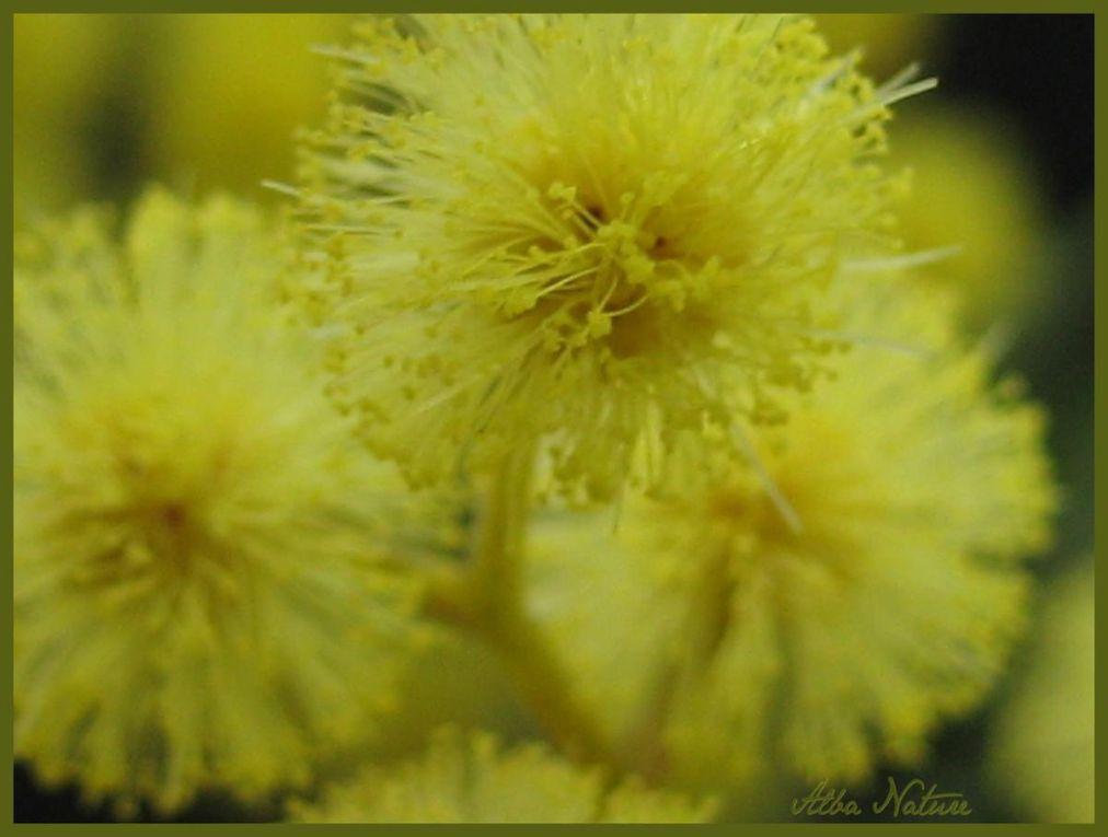 Album - Mimosa