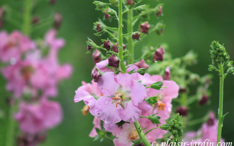 Le Verbascum phoeniceum 'rosetta'
