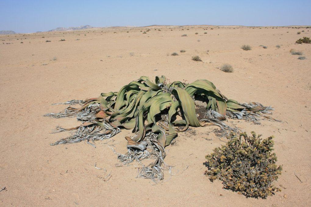 Welwitschia drive