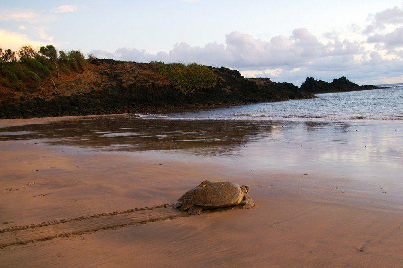 Après avoir recouvert le trou de sable, la tortue regagne péniblement la mer