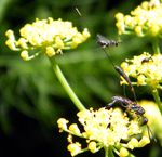 GASTERUPTION JACULATOR - GASTERUPTION DIVERSIPES aiment l'aneth et les larves d'abeilles solitaires !