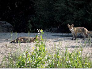 Les renards du parc des Chanteraines