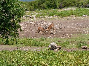 Le Springbok ou le Bouc sauteur...Amusant à observer pour sa capacité à sauter d'un coup sur place entraînant tout le reste du troupeau à faire de même. Parait il que personne n'a trouvé d'explication à ce phénomène collectif...