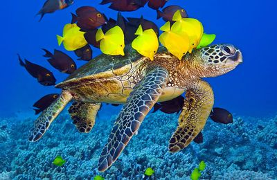 Tortue - Mer - Poissons - Chirurgiens - Photographie - Wallpaper - Free