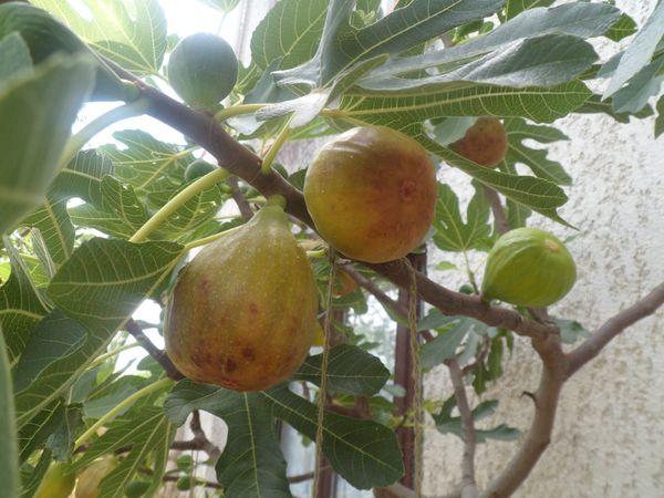 La figue, fraîche ou sèche, est un excellent déconstipant.