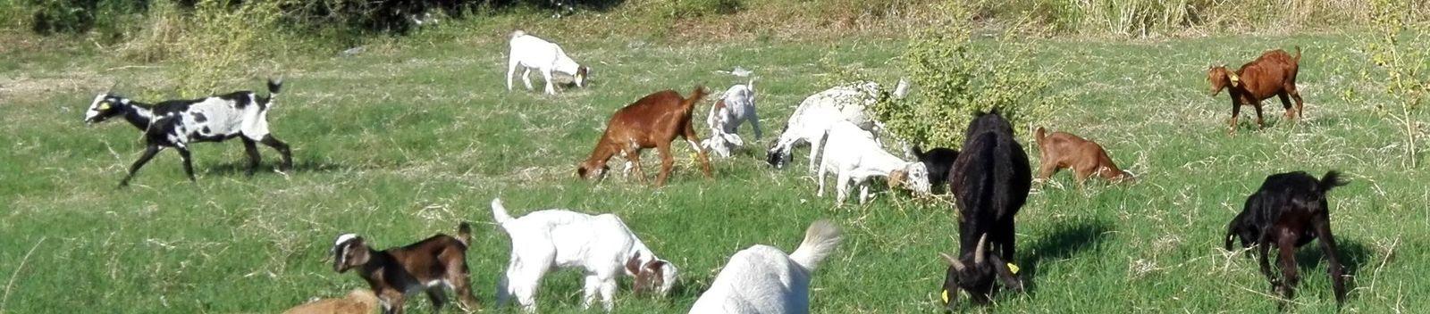 Sauvons la chèvre Péï (Île de la Réunion)