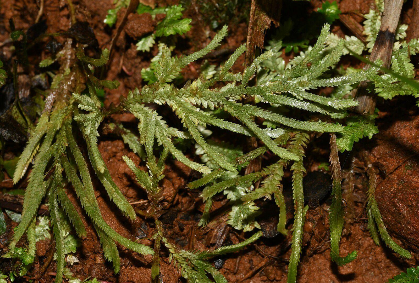 Selaginella gynostachya
