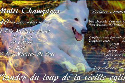I'lander du loup de la vieille eglise un chien aussi beau que gentil (berger blanc suisse)