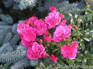 Les rosiers en E